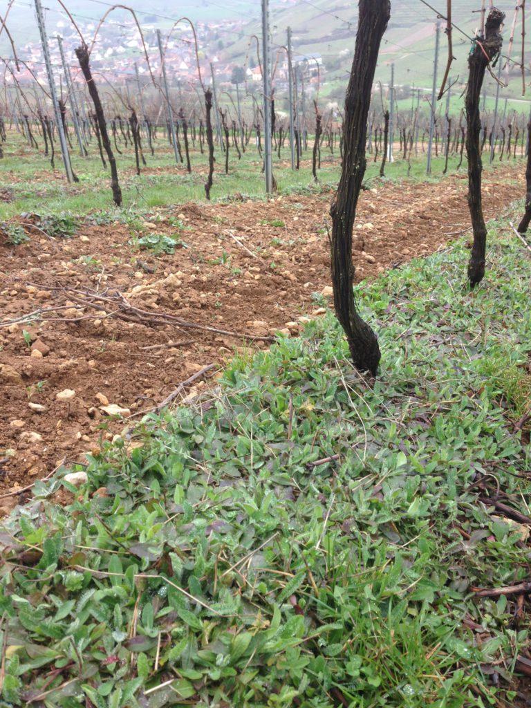 Viticulture : Cavaillon avec piloselle après 2 ans de plantation